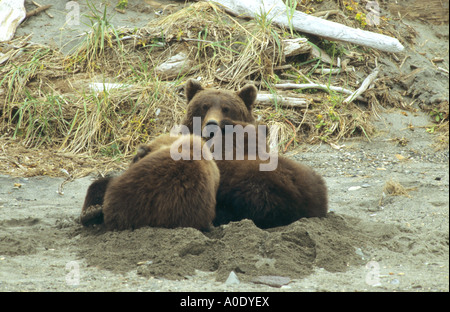 Brown Bear Grizzly Ursus arctos suckling two cubs in a day bed in the sand at Hallo Bay in Alaska Katmai USA - Stock Photo