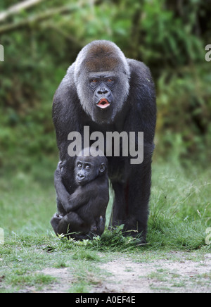 Lowland gorilla mother and baby - Stock Photo