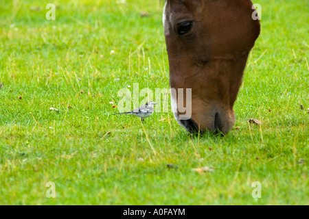 young pied wagtail eating insects disturbed by a grazing horse - Stock Photo