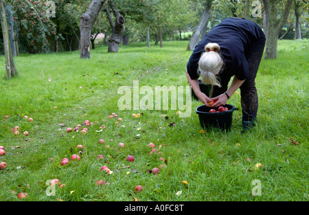 Woman collecting fallen cider apples by hand in orchard at Greggs Pit Much Marcle on Big Apple Day Herefordshire - Stock Photo
