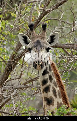 Male Masai giraffe, Selous Game Reserve, World Heritage Site, Tanzania - Stock Photo