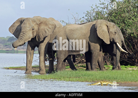 Selous Game Reserve World Heritage Site Tanzania   3 three Bull elephant crossing Lake - Stock Photo