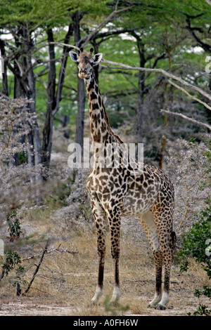 Selous Game Reserve World Heritage Site Tanzania   female Masai Giraffe in miomba woodland - Stock Photo
