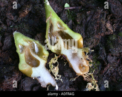ant plant (Hydnophytum formicarium), excavete tubers inhabited by stinging ants - Stock Photo
