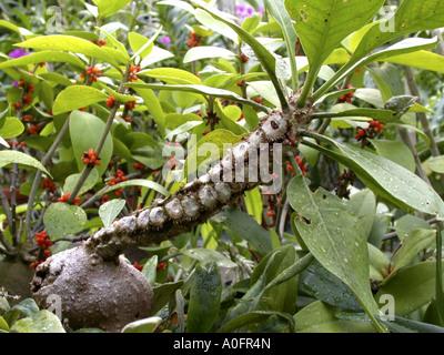 ant plant (Hydnophytum formicarium), ant plant whose swollen base provides housing for ants - Stock Photo