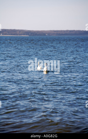 Swans swimming away in the ocean, Long Island Sound, New York, USA - Stock Photo