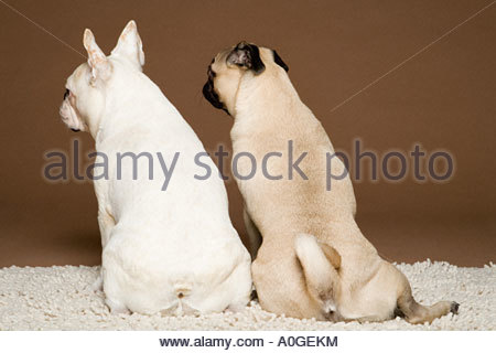 Rear view of a french bulldog and a pug - Stock Photo