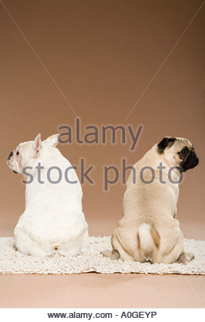 French bulldog and a pug - Stock Photo