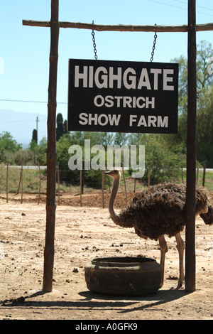 Feeding ostrich at the Highgate Farm showground Oudtshoorn in the Karoo region South Africa RSA - Stock Photo