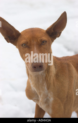 canary greyhound la palma podenco canario Canary Islands Island - Stock Photo