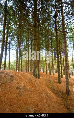 Pine trees Whitford Burrows on the Gower Peninsula - Stock Photo