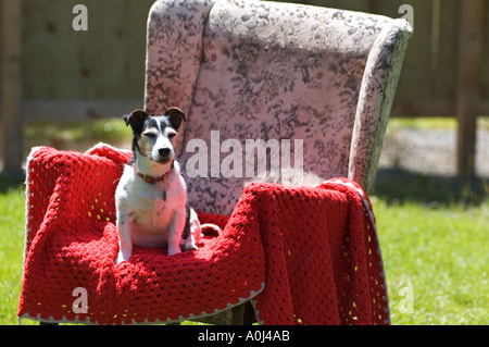 A Jack Russel terrier sits outside in a garden on an armchair. - Stock Photo