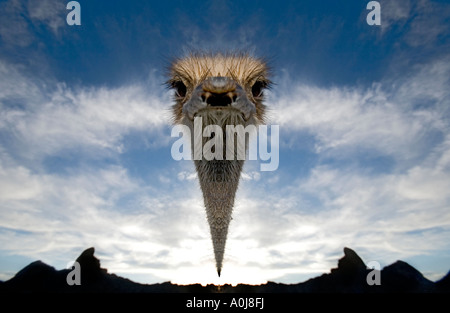 floating head ostrich - Stock Photo