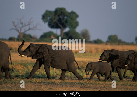 Africa Botswana Chobe National Park Herd of Elephants Loxodonta africana walk along low banks of Chobe River at - Stock Photo