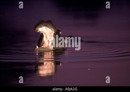 Botswana Moremi Game Reserve Flash image of Hippopotamus Hippopotamus amphibius yawning in Khwai River at dusk - Stock Photo