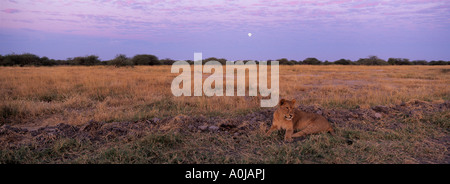 Africa Botswana Chobe National Park Lion cub Panthera leo rests in grass on Savuti Marsh with rising full moon at - Stock Photo