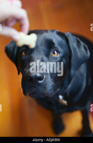 A black lab sits patiently looking intently at a dog treat held in it s owners hand above it s nose - Stock Photo