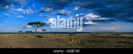 Africa Kenya Masai Mara Game Reserve Lion Panthera leo rests on savanna at sunset - Stock Photo