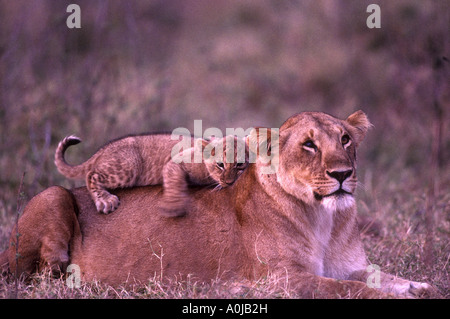 Africa Kenya Masai Mara Game Reserve Adult Lion cub Panthera leo plays on lioness back in Musiara Marsh - Stock Photo