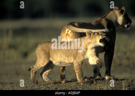 Africa Kenya Masai Mara Game Reserve Lion cub Panthera leo plays with Lioness tail in Musiara Marsh at dawn - Stock Photo