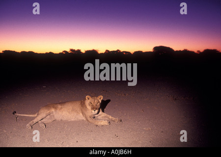 Africa Botswana Nxai Pan National Park Lioness Panthera leo rests in Kalahari Desert at dusk - Stock Photo