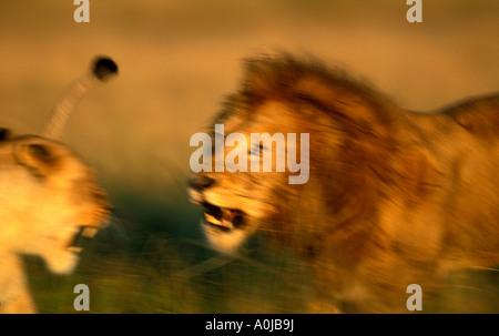 Africa Kenya Masai Mara Game Reserve Blurred image of Male Lion Panthera leo charging Lioness at kill site - Stock Photo