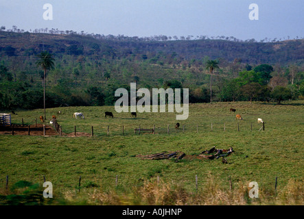 cow, cattle, grazing, grazing in field, Caiman Ecological Refuge, Pantanal, Mato Grosso do Sul State, Brazil, South - Stock Photo