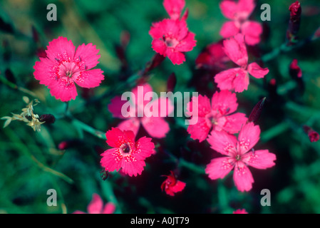 Cheddar Pink , Dianthus gratianopolitanus. Flowers close-up - Stock Photo