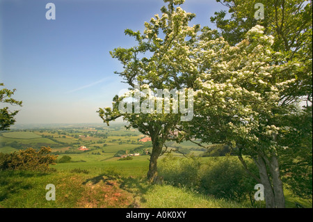 Hawthorn tree in flower on the ramparts of Cadbury Castle nr Bickleigh - Stock Photo