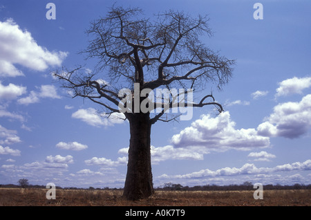 Baobab tree in near Kilalinda in Tsavo East National Park Kenya - Stock Photo