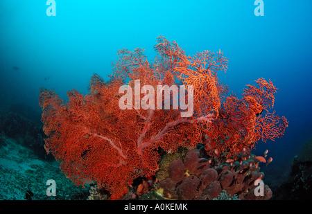Red Giant Sea Fan Gorgonaria sp Indian Ocean Indonesia - Stock Photo