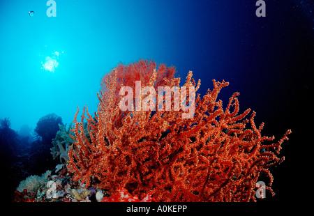 Red Sea fan Gorgonaria sp Komodo Indio Pacific Indonesia - Stock Photo