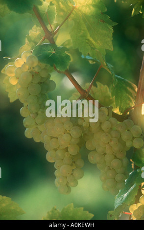 Bunches of grapes Rhineland Palatinate Germany Weisse Weintrauben am Rebstock Rheinland Pfalz Deutschland Wein - Stock Photo