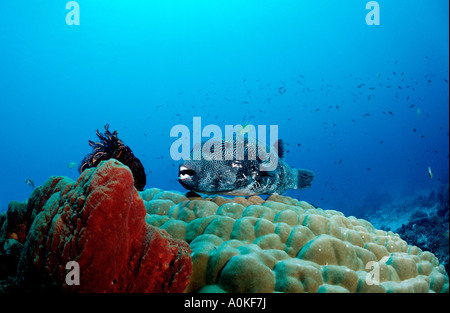 Map puffer on Pore Coral Arothron mappa Komodo Indio Pacific Indonesia - Stock Photo