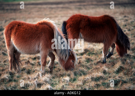 Wild Ponies Carneddau Snowdonia North West Wales - Stock Photo