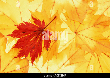 Norway Maple and Japanese Maple autumn leaves Acer platanoides Acer japonicum - Stock Photo