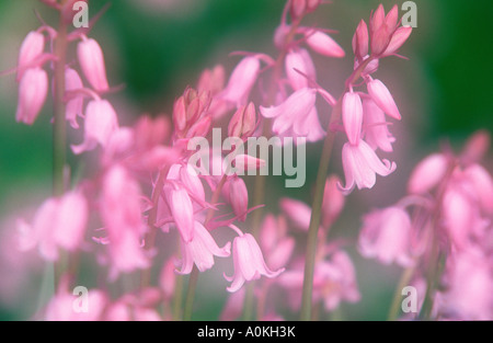 Spanish Bluebells Hyacinthoides hispanica Scilla hispanica Blaugloeckchen Blauglöckchen - Stock Photo