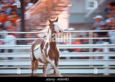 A bronco riding horse is released from the rider at a rodeo in Wisconsin - Stock Photo