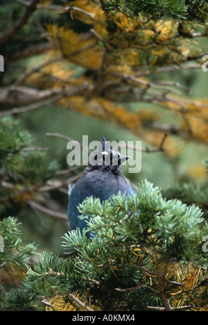 Stellers Jay perches on an evergreen branch on Fall River Road in Rocky Mountain National Park Colorado - Stock Photo