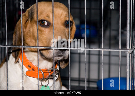 A sad looking abandoned dog looks out from his cage in an animal shelter during the aftermath of Hurricane Katrina - Stock Photo