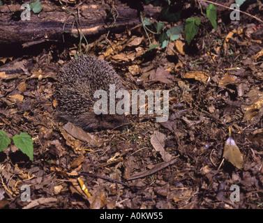Hedgehog. Adult foraging in leaf litter Surrey England September - Stock Photo