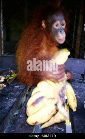 Baby Orangutan Pongo pygmaeus grabs for Banana in Tanjung Putting National Park Kalimantan Borneo Indonesia - Stock Photo