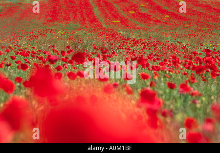 Poppy Field On The Outskirts Of Valenso In Provence France - Stock Photo