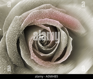 FLORAL CONCEPT: English Rose (lat: rosa handel) - Stock Photo