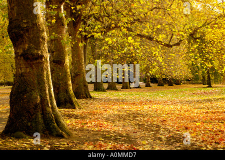 Trees with golden leaves at Battersea Park London - Stock Photo