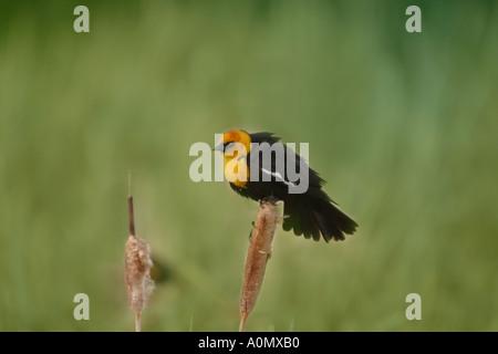 Birds of North America; Yellow headed blackbird; xanthocephalus xanthocephalus - Stock Photo