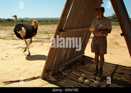 Tourist stands on ostrich eggs Oudtshoorn in the Karoo region South Africa RSA - Stock Photo