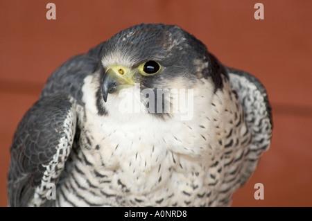 Saker falcon - Stock Photo