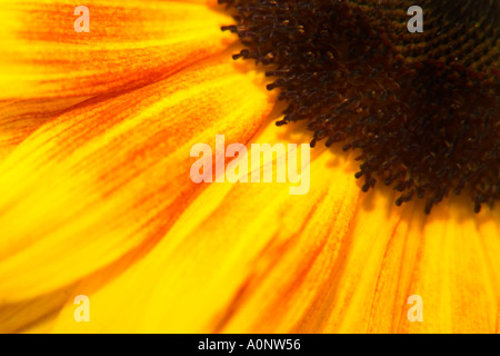 Close up macro detail of a sunflower plant in bright yellow with centre - Stock Photo