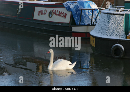 Swan on the Bridgewater Canal Worsley Salford UK  - Stock Photo